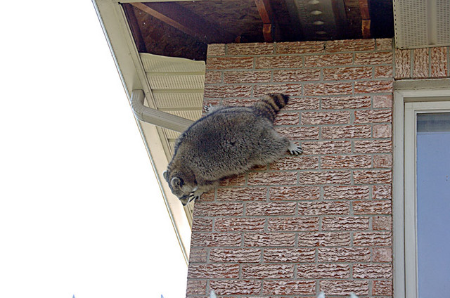 He (or she) got a little sideways and ended up falling a few feet to the ground. These animals regularly fall through the soffits to the ground two storeys below. They cannot easily be harmed in a fall.